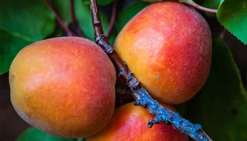 come-coltivare-il-mango